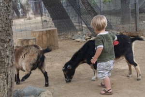 Austin brushes a goat